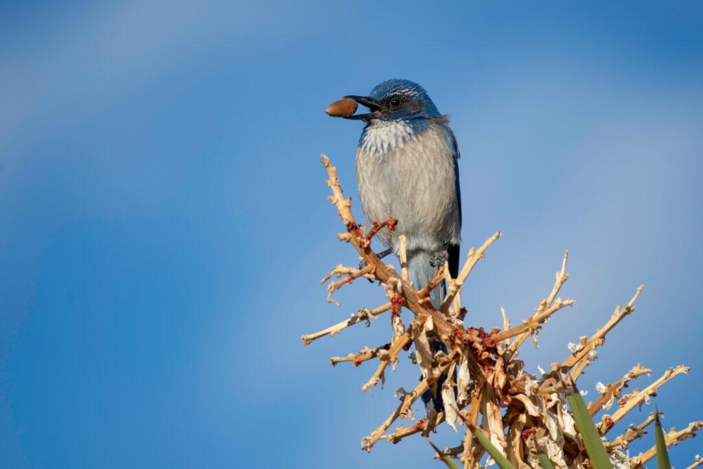 Western Scrub Jay perched at Joshua Tree National Park.
