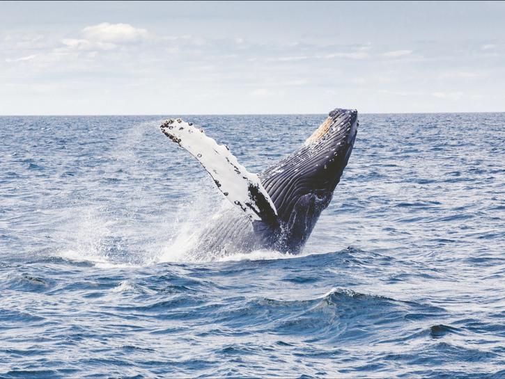Whale breaching the water, Massachusetts