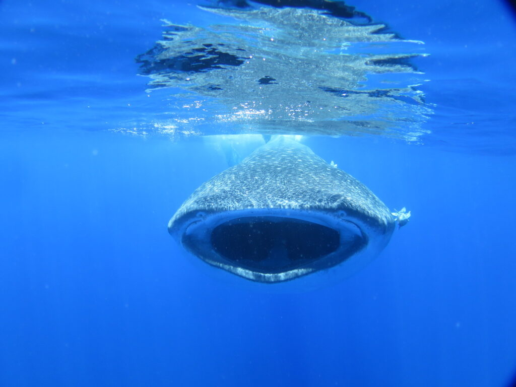 Whale Sharks at St. Helena Island.