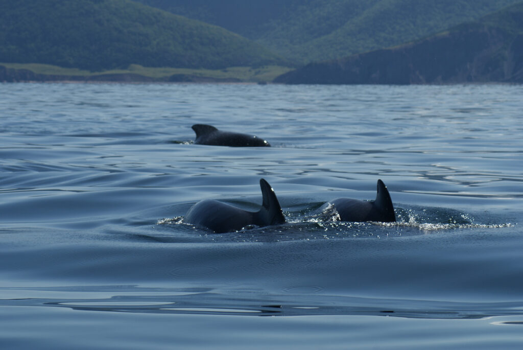 Whales in Pleasant Bay, Nova Scotia.