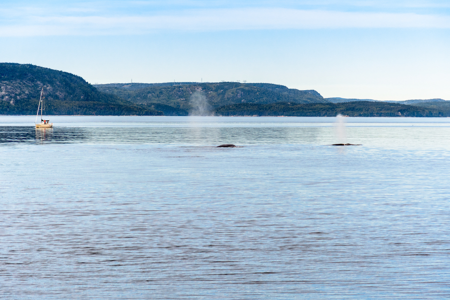 Whales in the Saguenay-Saint Lawrence Marine Park in Quebec.