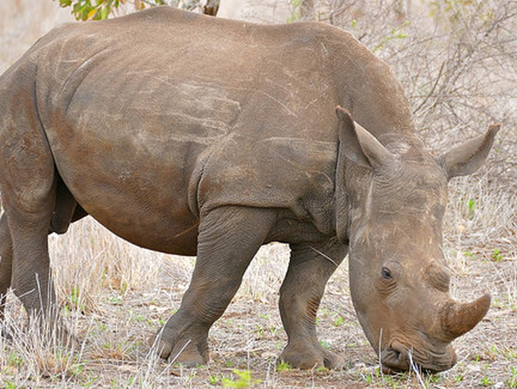 White rhinoceros eats grass