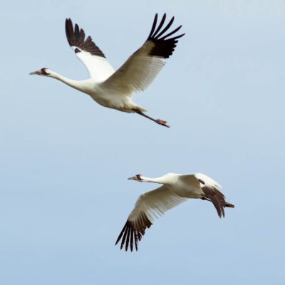 Whooping cranes in southern Texas.