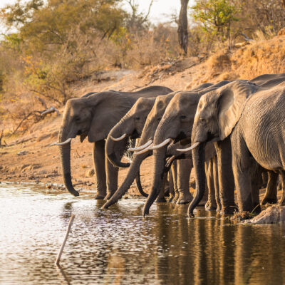 Wild African elephants drinking from a pond.