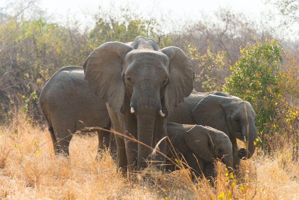 Wild African elephants.