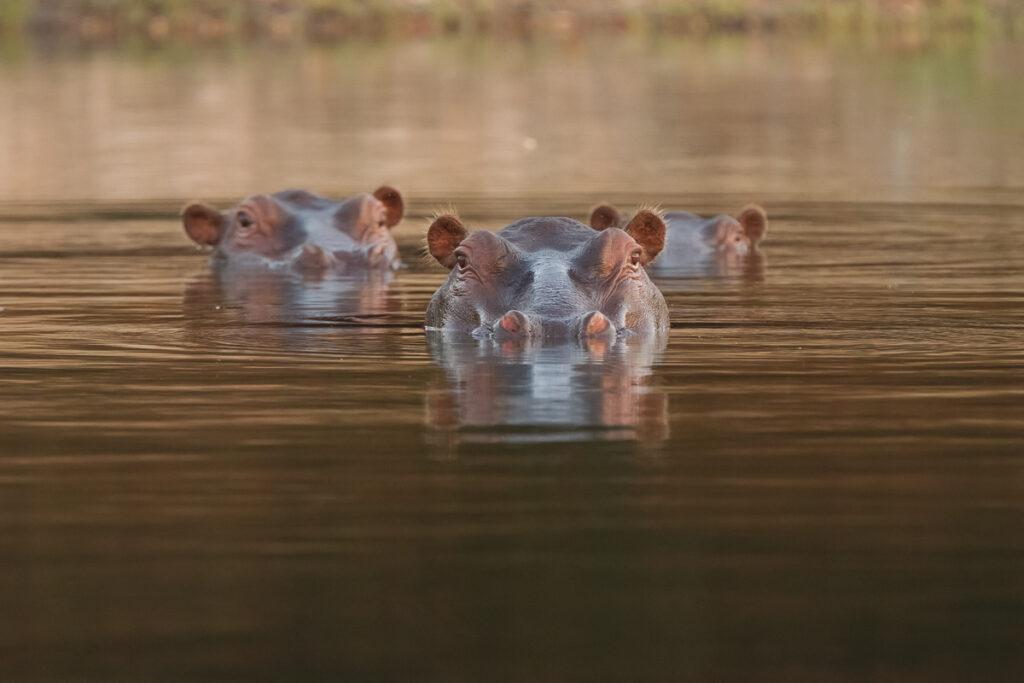 Wild African hippos.