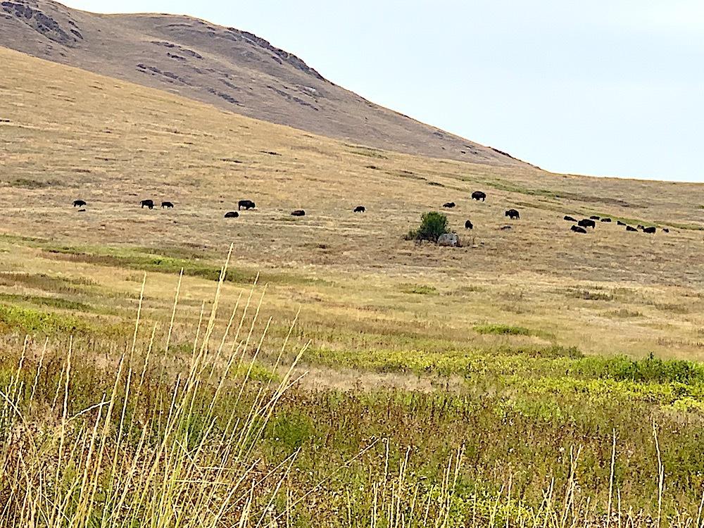 Wild bison near Missoula, Montana.