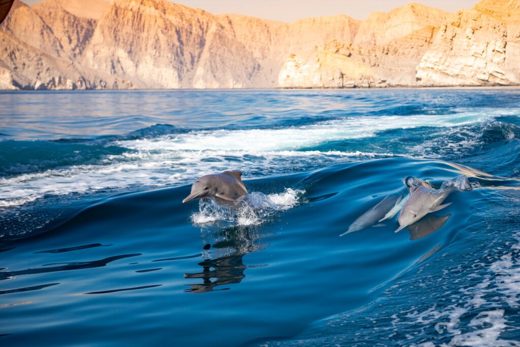 Wild dolphins off the coast of Oman.