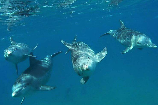 Wild dolphins swimming.