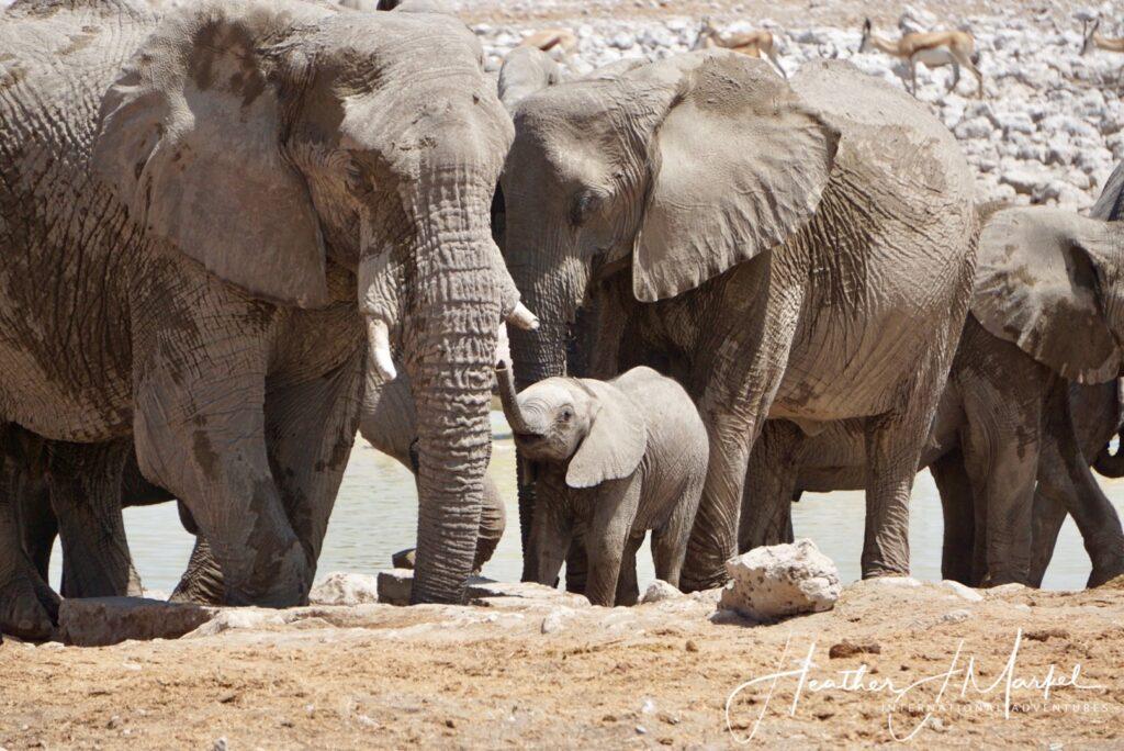 Wild elephants in Africa.