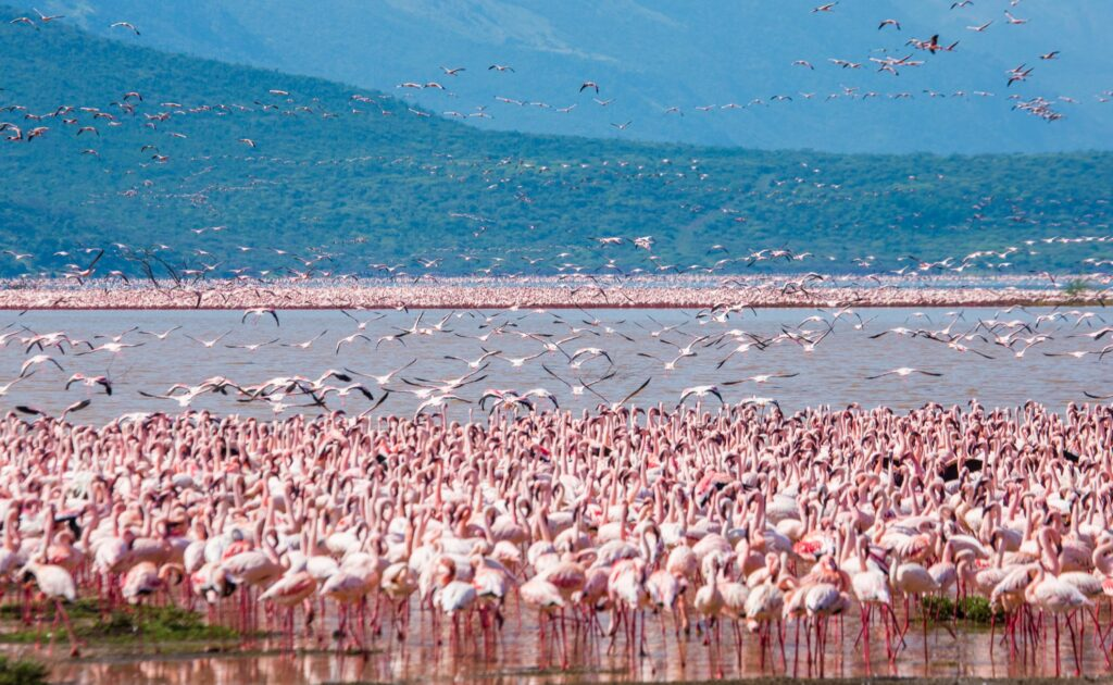 Wild flamingos at Lake Bogoria.