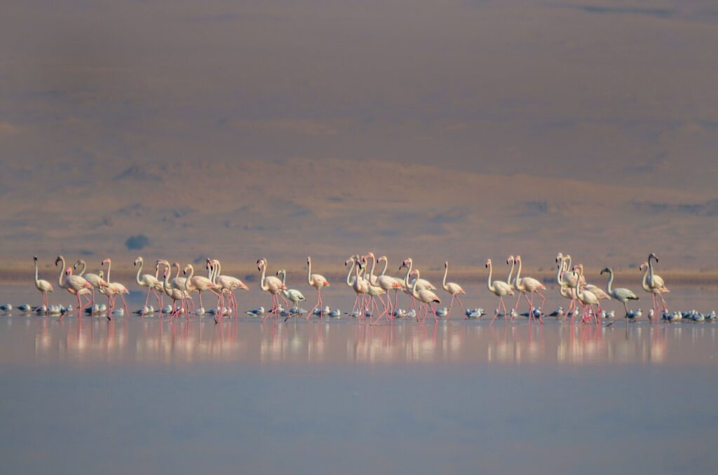 Wild flamingos at Lake Qarun.
