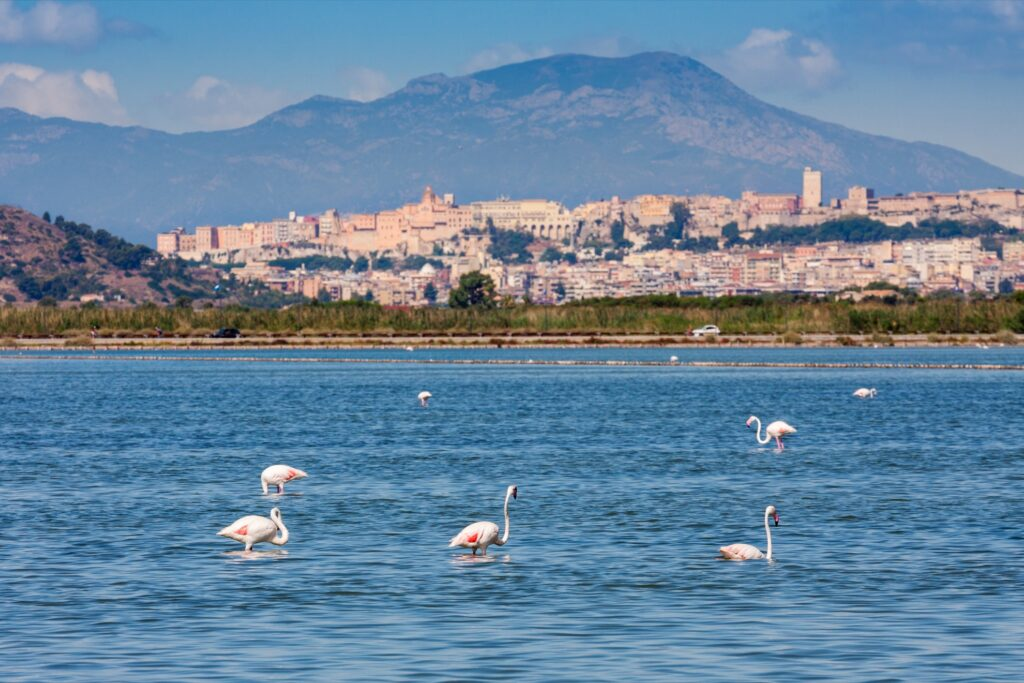 Wild flamingos in Sardinia.