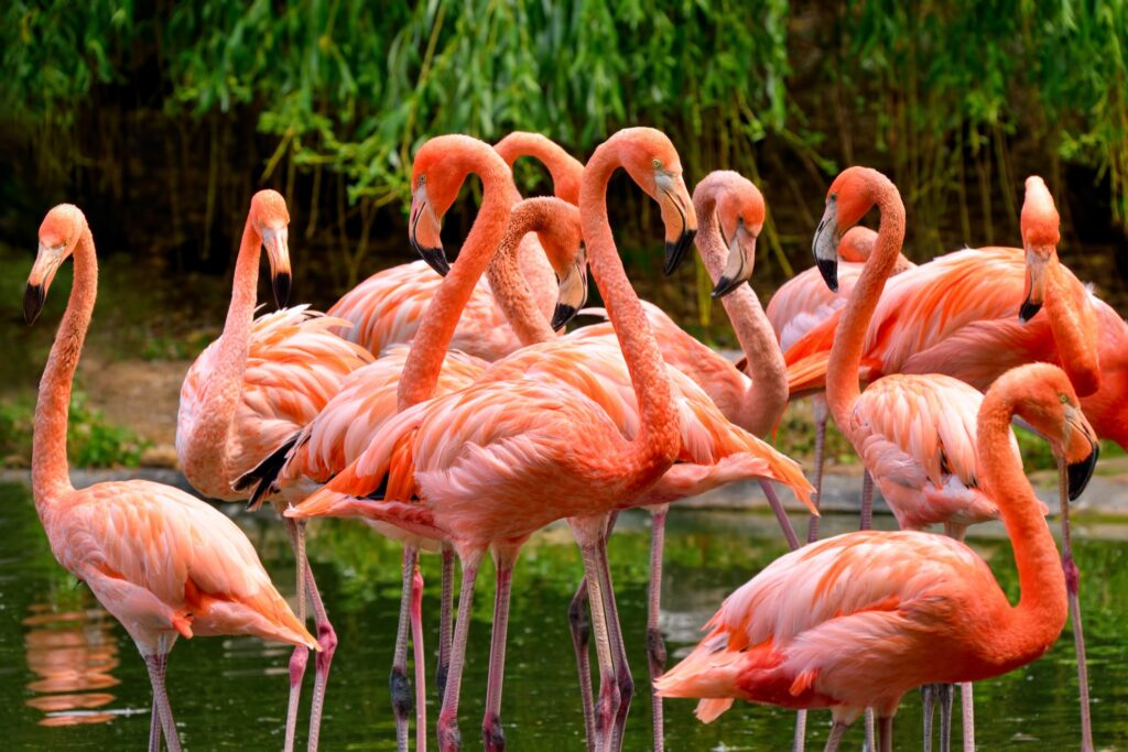Wild flamingos in the Florida Everglades.