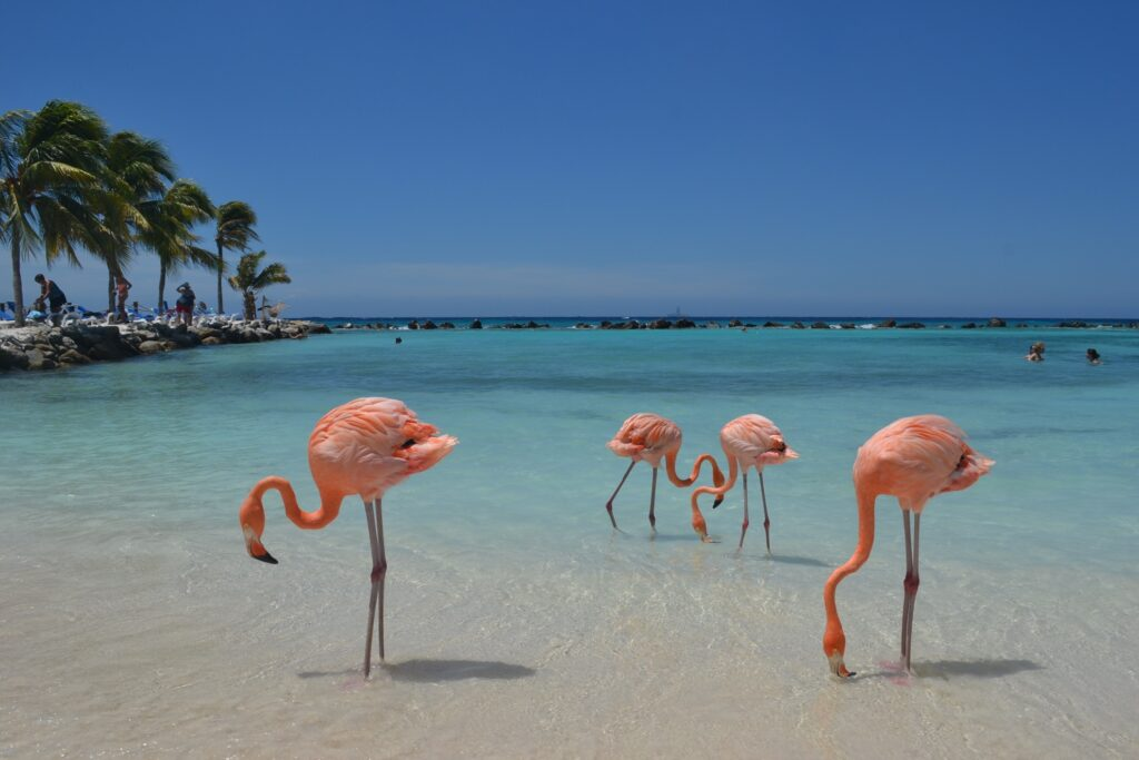 Wild flamingos on Renaissance Island.