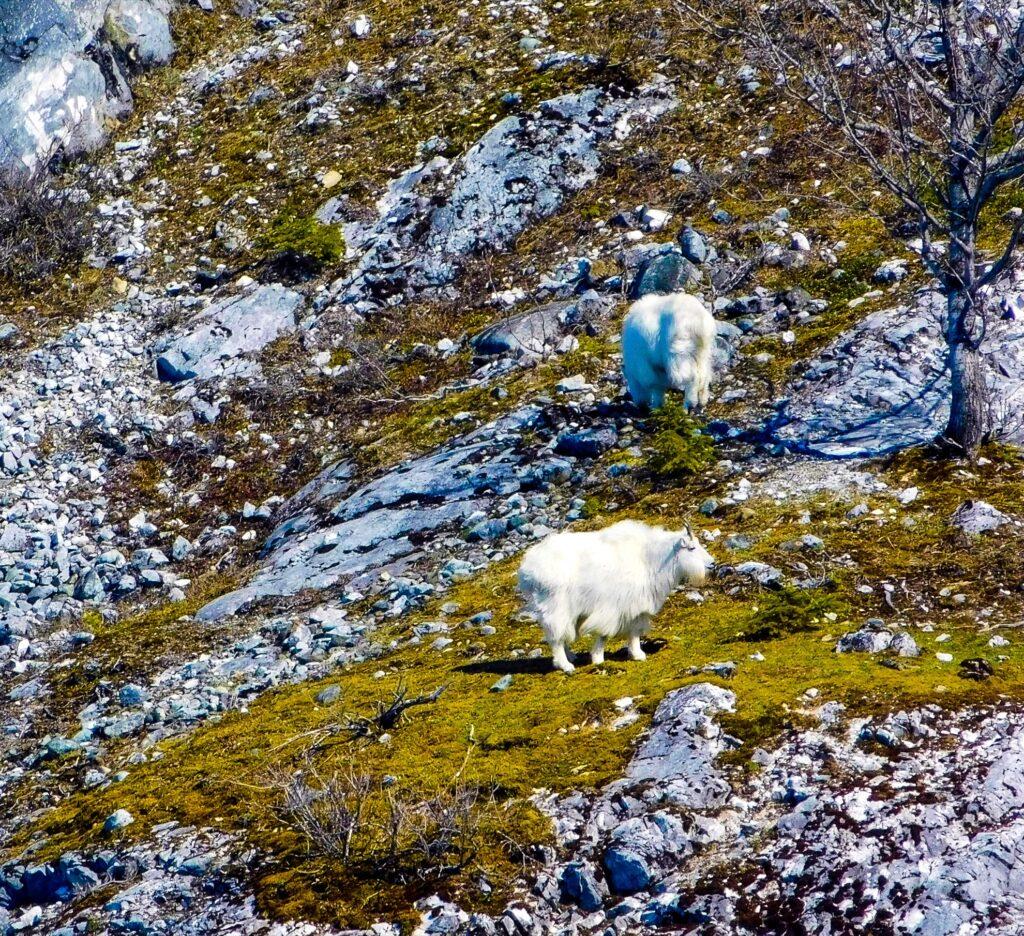 Wild goats near Gloomy Knob in Alaska.