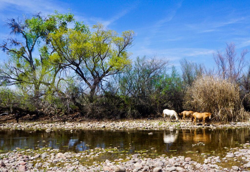 Wild Horses along the Salt River in Scottsdale.