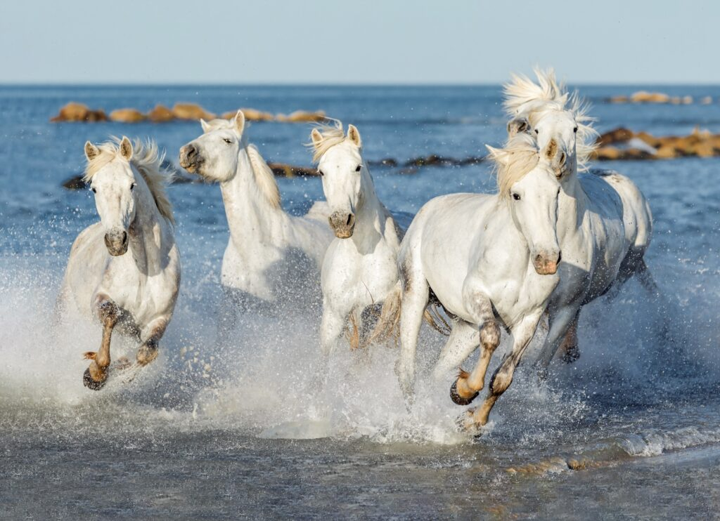 Wild horses in the Camargue, France.