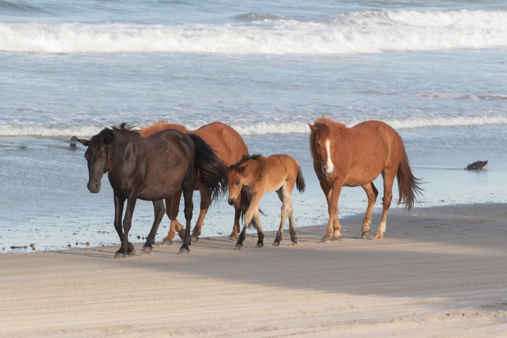 Wild horses on a beach in the Outer Banks.