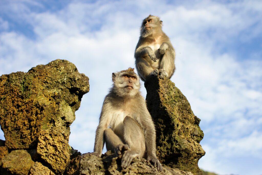 Wild monkeys on Mount Batur in Bali.