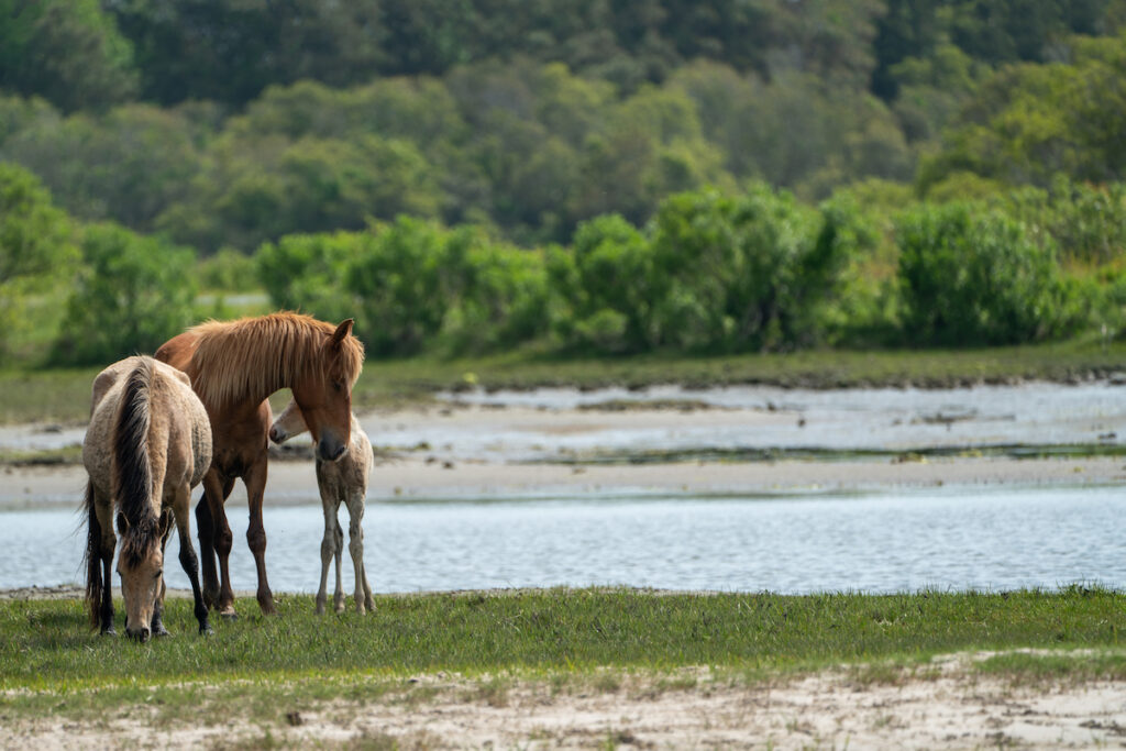 Wild ponies in the Chincoteague National Wildlife Refuge.
