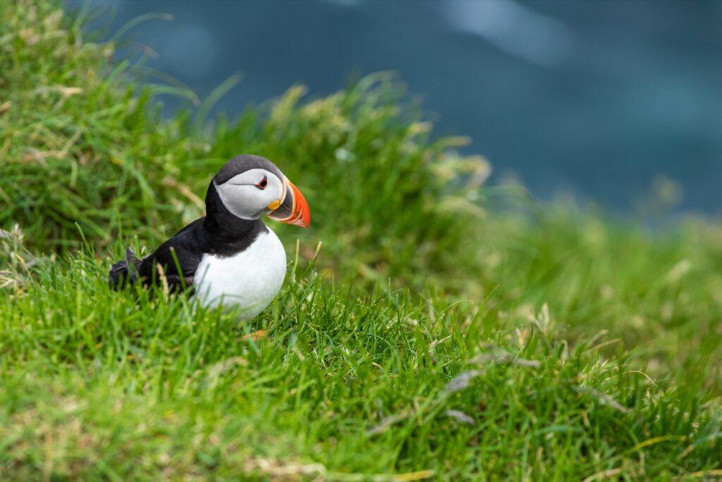 Wild puffins in the Faroe Islands.