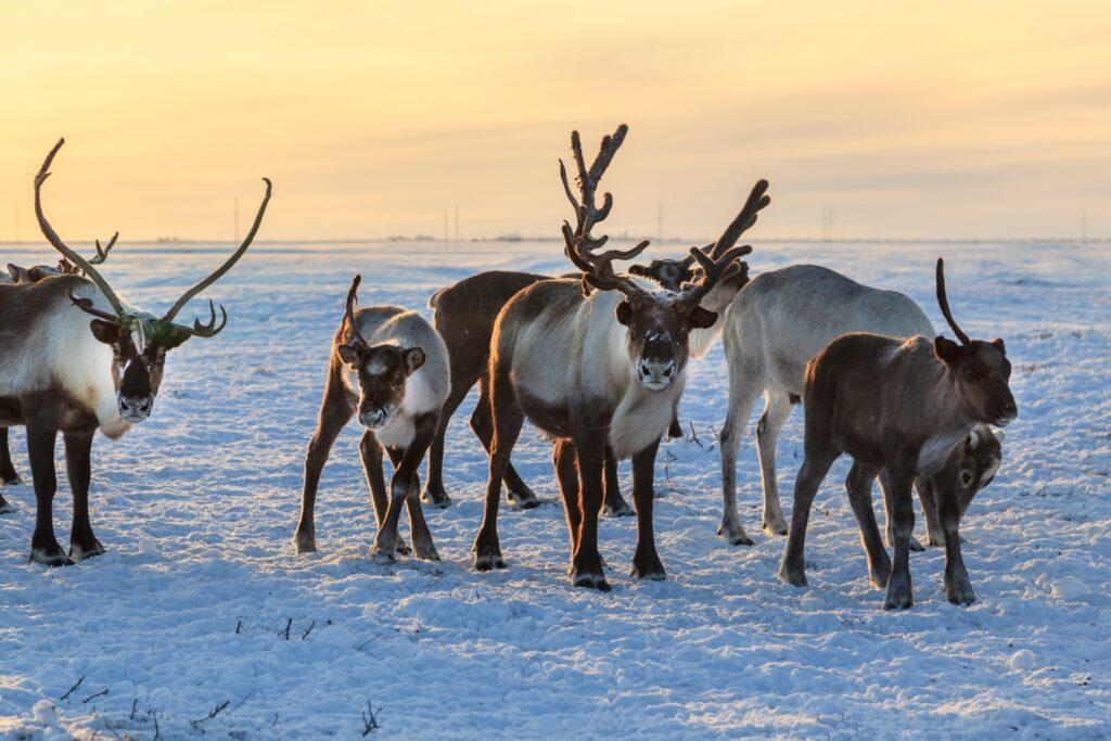 Wild reindeer in Finland.