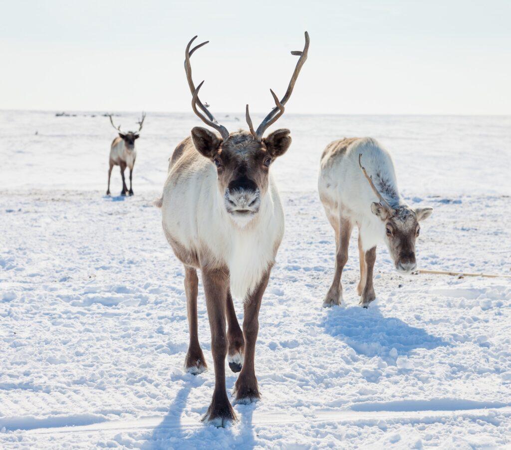 Wild reindeer in the snow.