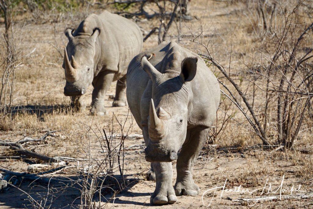 Wild rhinos in Africa.