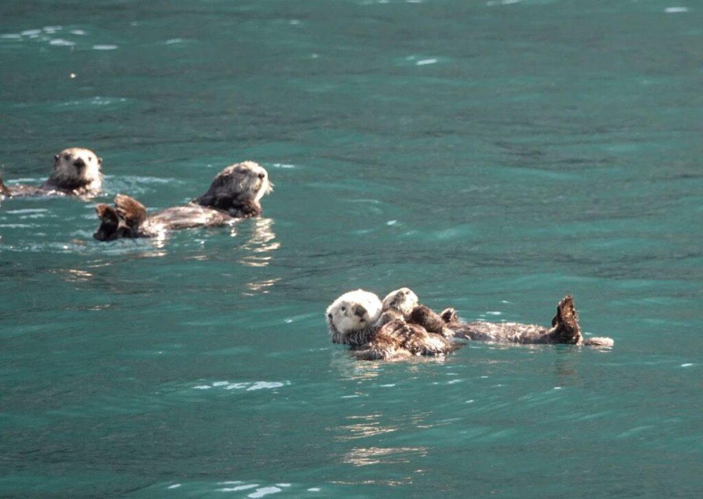 Wild sea otters in Alaska.