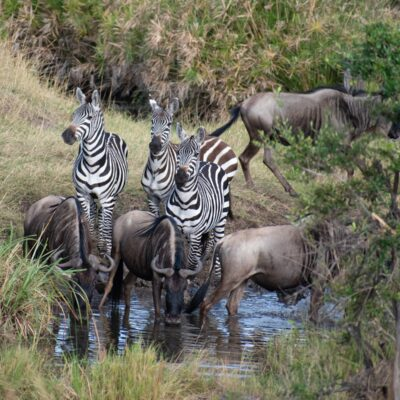 Wildebeest and zebra at a watering hole in Tanzania.