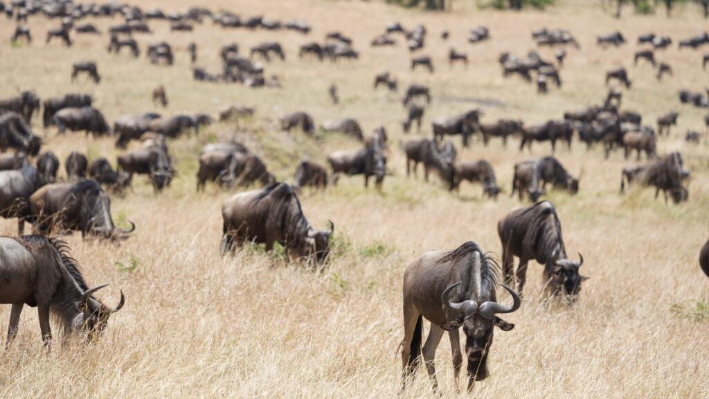 Wildebeest migration in Serengeti National Park.