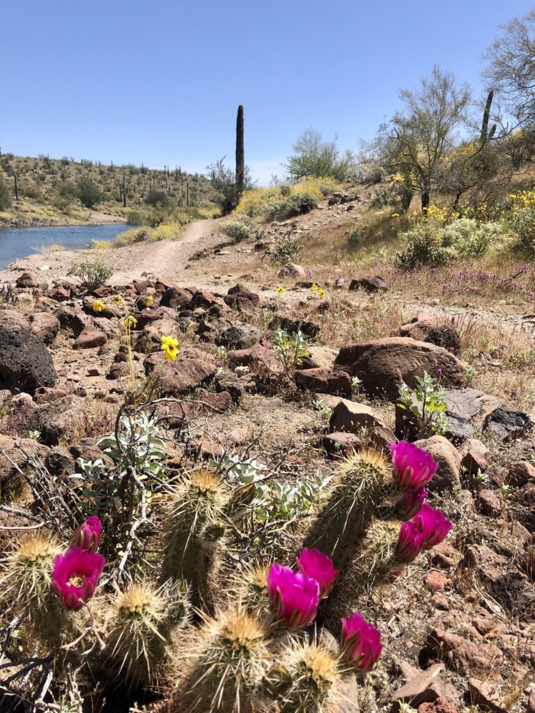 Wildflowers and cacti along the Wild Burro Trail.