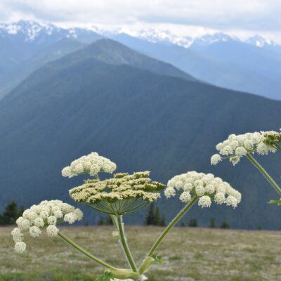 Wildflowers and mountains at Hurricane Ridge.