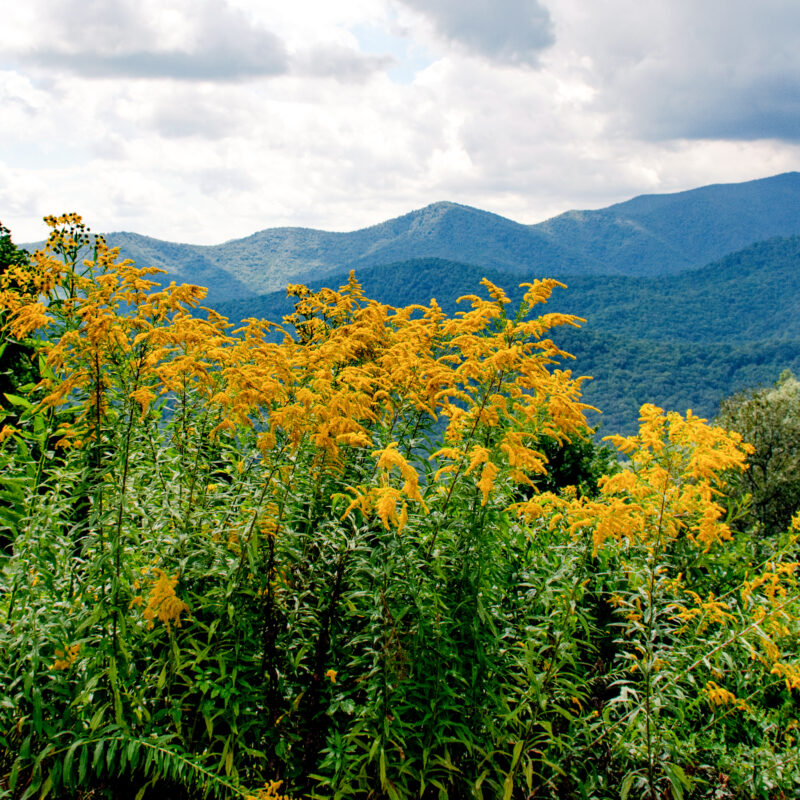 Wildflowers blooming in the Great Smoky Mountains.