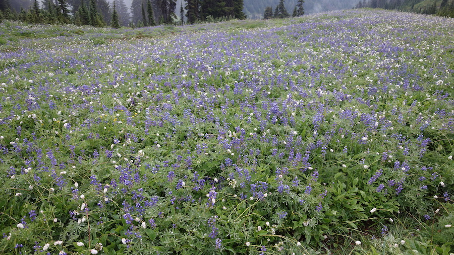 Wildflowers in Mount Rainier National Park.