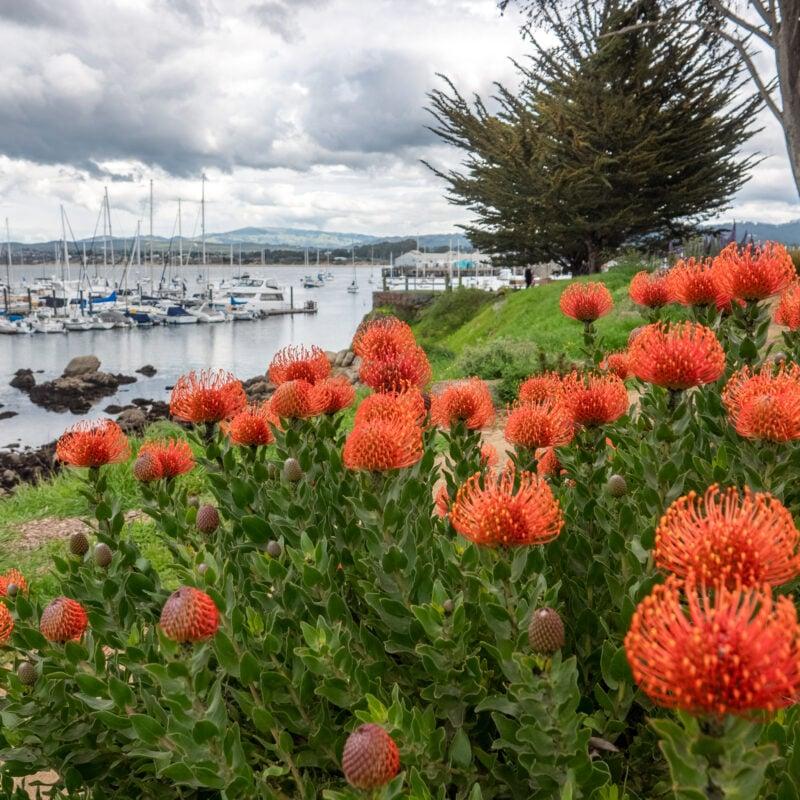 Wildflowers on the coast of Pacific Grove, California.
