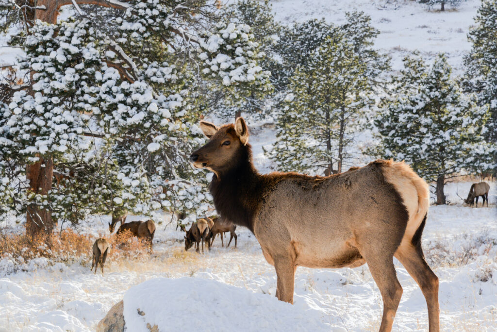 Wildlife in Estes Park during the winter.