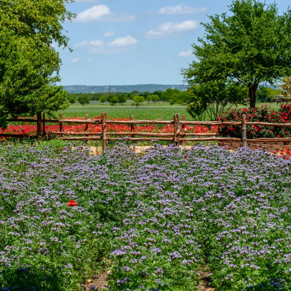 Wildseed Farms in Fredericksburg, Texas.