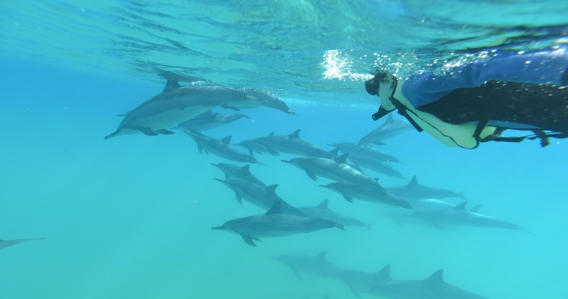 Woman snorkeling with dolphins.