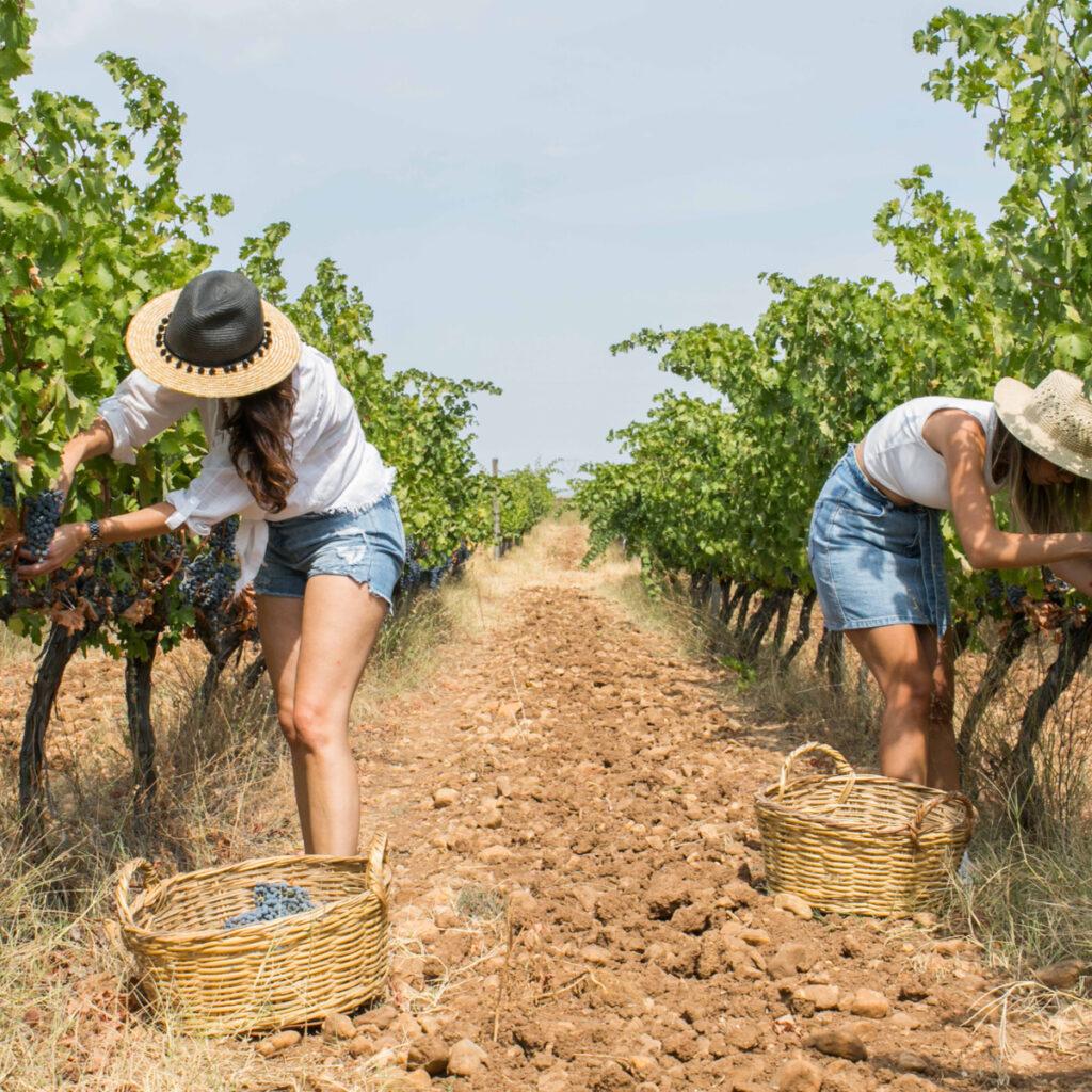 Women harvesting grapes at Arda Vineyards in Turkey.
