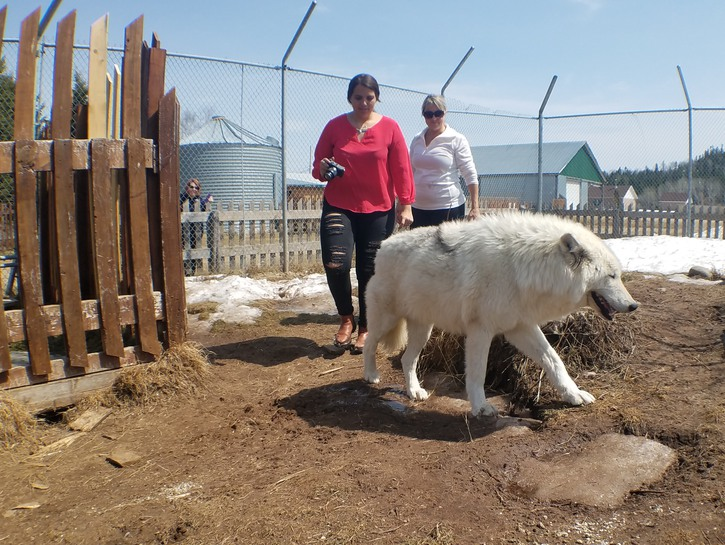 Women looking at white wolf inside enclosure