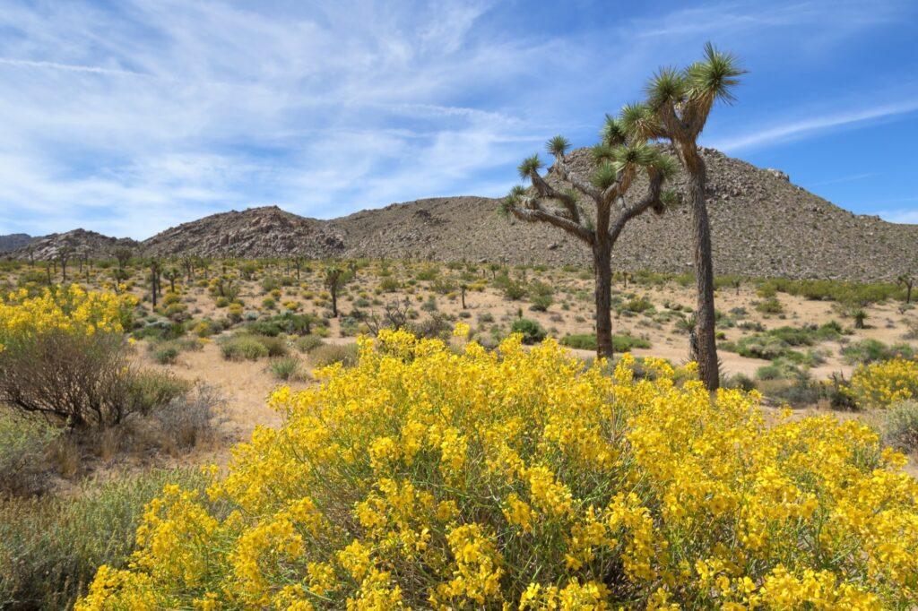Yellow wildflowers in Joshua Tree National Park.