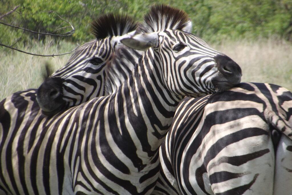 Zebra at Moremi Game Reserve in Botswana.