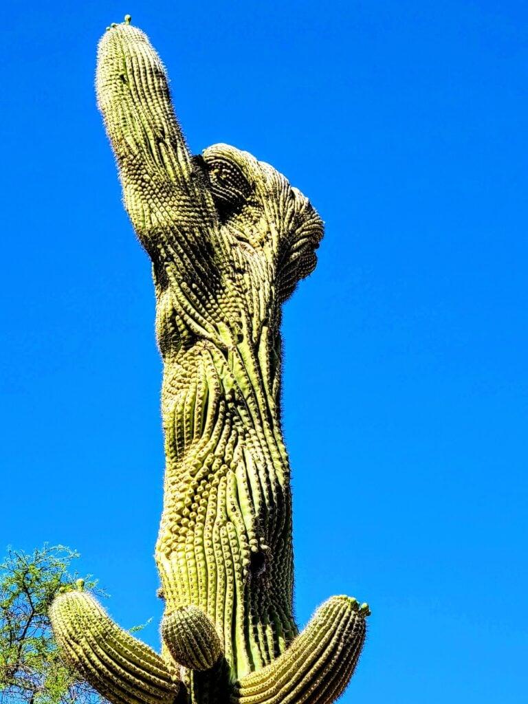Crested saguaro cactus, Carefree Desert Gardens.