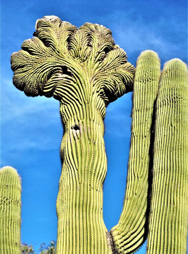 Crested saguaro, Desert Botanical Garden, Phoenix.