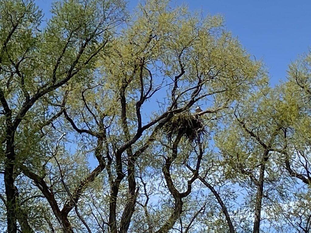 Eagle nest in a wildlife refuge.