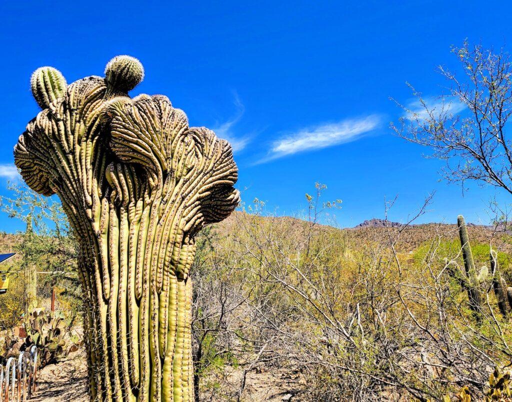 Young crested saguaro, Arizona-Sonora Desert Museum.