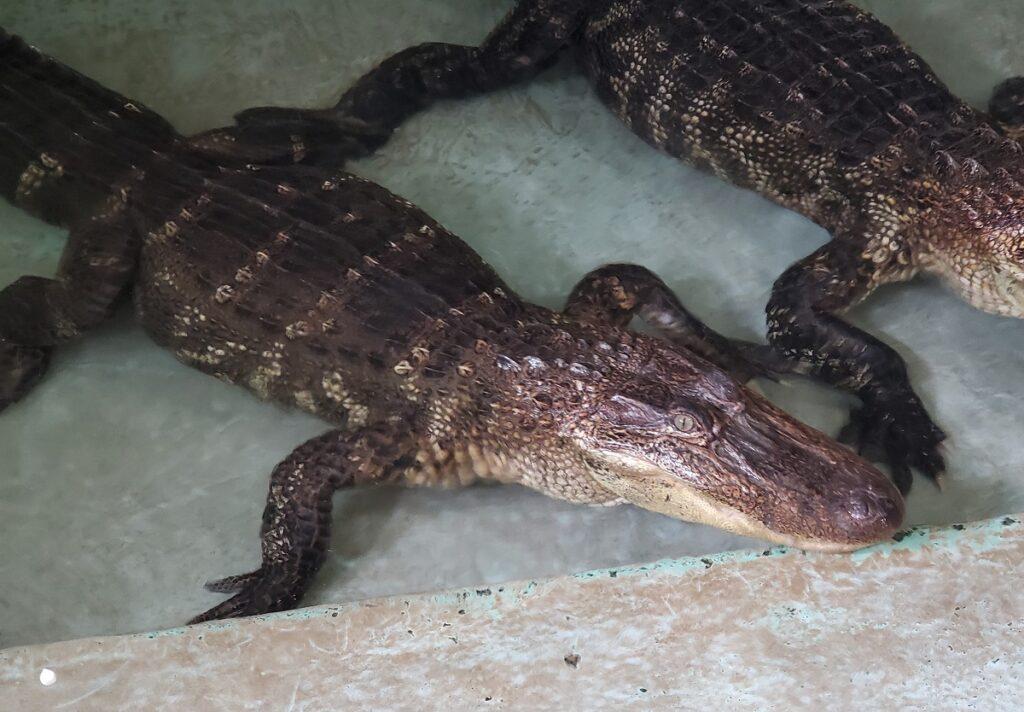 Alligator in Insta-Gator's barn, Louisiana.