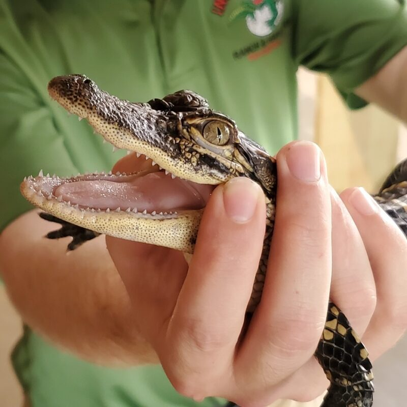 Closeup on an alligator with open mouth.